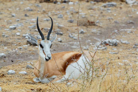 marsupialis: lying and resting Springbok Antidorcas marsupialis, Etosha national Park, Ombika, Kunene, Namibia. True wildlife photography