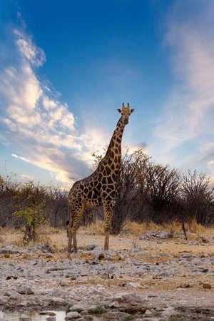 pozo de agua: Giraffa camelopardalis near waterhole in safari Etosha national Park, Ombika, Kunene, Namibia, wildlife