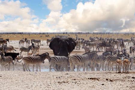 springbok: full waterhole with Elephants, zebras, springbok and orix. Etosha national Park, Ombika, Kunene, Namibia. wildlife photography Stock Photo