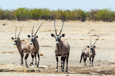 conservation grazing: Gemsbok, Oryx gazella in savanna, dominant Gemsbok antelope in the park, Etosha, Namibia