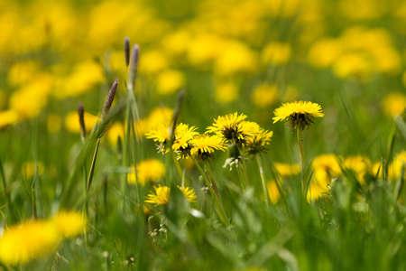 Field of spring flowers dandelions dandelion meadow yellow stock field of spring flowers dandelions dandelion meadow yellow dandelion with shallow focus stock photo mightylinksfo