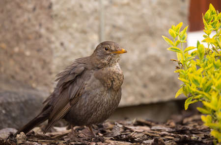 turdus: female of Common blackbird (Turdus merula) on in spring garden
