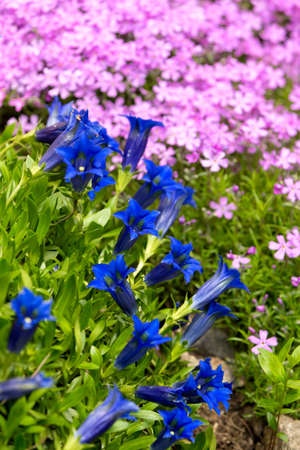 gentian flower: Trumpet gentian, blue spring flower in garden with pink flowers in background. Spring backgeound. Spring flower. Natural background. Srping garden in bloom.