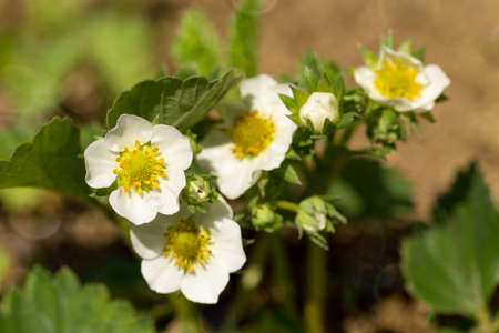 fragaria: Woodland strawberry (Fragaria vesca) with shallow focus. Blooming plant in spring. Flowering strawberry in garden Stock Photo