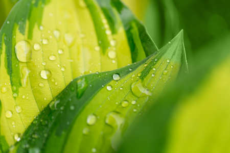 leaf water: macro water drops on green plant leaf for natural background, wallpaper or backdrop use. natural wallpaper background