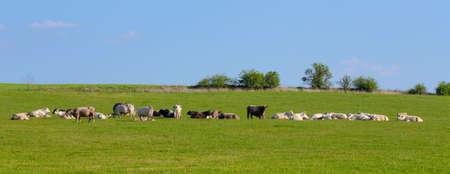 Manada de vacas en la hierba verde, escena rural, campo paisaje tranquilo