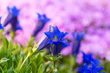 gentian flower: Trumpet gentian, blue spring flower in garden with pink flowers in background. Spring background. Spring flower. Natural background. Srping garden in bloom. Stock Photo