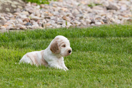 cocker: small purebred English Cocker Spaniel puppy, 24 days old playing outdoor on green grass. First time outdoor. Stock Photo