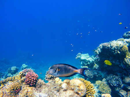 surgeonfish: Coral and fish in the Red Sea. In front is Red Sea surgeonfish, in background deep blue sea with other coral fish. Safaga, Egypt.