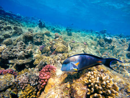 acanthurus: Coral and fish in the Red Sea. In front is Red Sea surgeonfish, in background coral garden and blue sea with other coral fish. Safaga, Egypt. Stock Photo