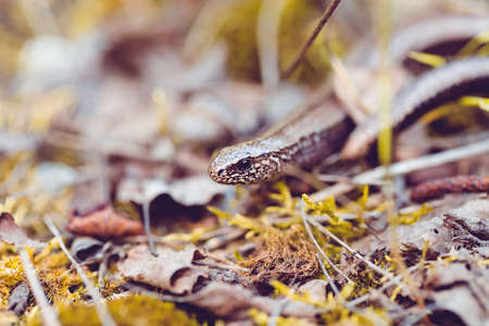 limbless: Slow Worm or Blind Worm, Anguis fragilis. Slow Worm lizards are often mistaken for snakes. His food is generaly pest insects. Shallow focus to eye. Czech nature and wildlife Stock Photo