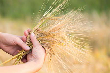 Wheat ears barley in the hand. Harvest agriculture summer concept. Woman hand with golden cereal. Stock Photo
