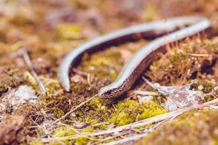 worm snake: Slow Worm or Blind Worm, Anguis fragilis. Slow Worm lizards are often mistaken for snakes. His food is generaly pest insects. Shallow focus to eye. Czech nature and wildlife Stock Photo