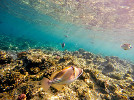 triggerfish: Coral and fish in the Red Sea. In front Triggerfish, in background coral garden and sea with other coral fish. Safaga, Egypt. Stock Photo