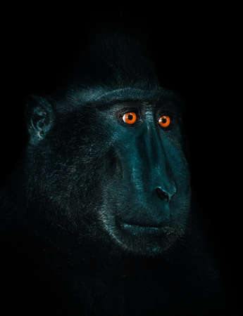 celebes: Celebes crested macaque as black monkey, Sulawesi, Indonesia. Endemic indonesia ape. Portrait on black dark background with orange dominant eyes