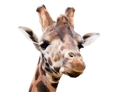 giraffa: Close up portrait of young cute giraffe isolated on white, Giraffa camelopardalis reticulata