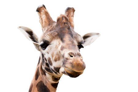 giraffa camelopardalis reticulata: Close up portrait of young cute giraffe isolated on white, Giraffa camelopardalis reticulata