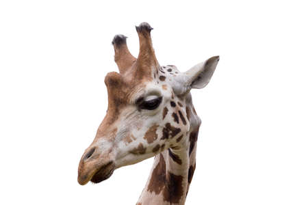 camelopardalis reticulata: Close up portrait of young cute giraffe isolated on white, Giraffa camelopardalis reticulata