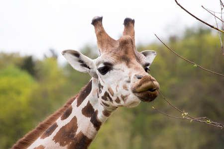 Close of young cute giraffe grazing on tree, Giraffa camelopardalis reticulata