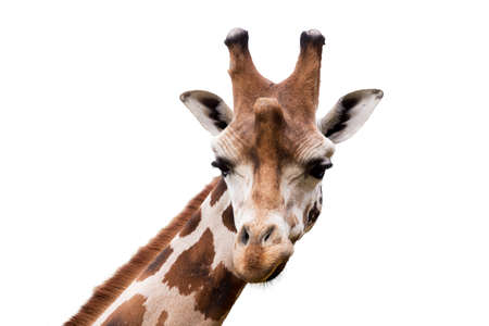 Close up portrait of young cute giraffe isolated on white, Giraffa camelopardalis reticulata
