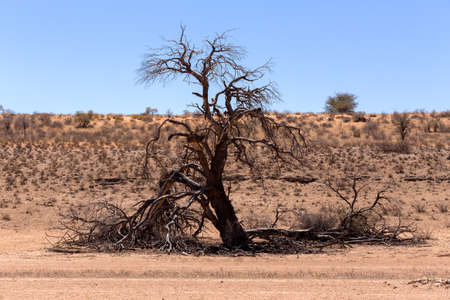 kgalagadi: dry landscape with tree in Kgalagadi transfontier park, South, Africa, Typical south african landscape