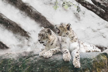 irbis: family of big cat, snow leopard - Irbis, Uncia uncia with snowy weather
