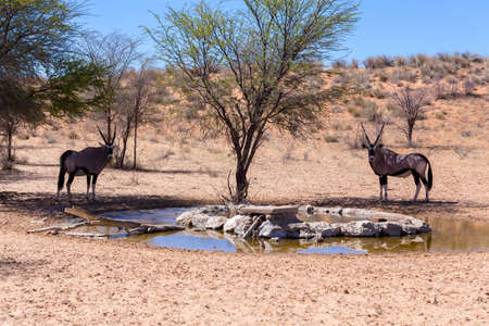 the water hole: Gemsbok, Oryx gazella,dominant Gemsbok antelope in the park, Kgalagadi, South Africa. Gemsbok drinking from water hole