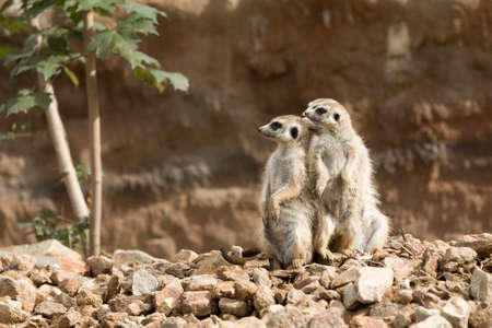 family of small african mammal meerkat or suricate watching out for danger