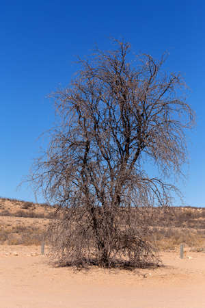 kgalagadi: dry landscape with tree in Kgalagadi transfontier park, South, Africa, Typical south african landscape with dry tree in desert