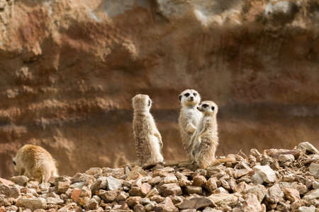 out of danger: family of small african mammal meerkat or suricate watching out for danger