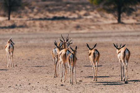 kgalagadi: Back view of Springbok Antidorcas marsupialis in dry Kgalagadi Transfontier park reserve, South Africa. Wildlife photography Stock Photo