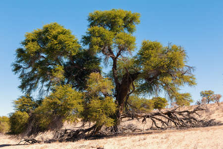 kgalagadi: dry landscape with tree in Kgalagadi transfontier park, South, Africa, Typical south african landscape with green tree