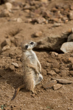 out of danger: african mammal meerkat or suricate watching out for danger