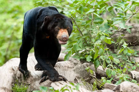 black Malaysian bear known as Sun bear (Helarctos malayanus)