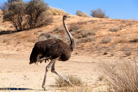 kgalagadi: Majestic Ostrich, Struthio camelus in dry Kgalagadi reserve, South Africa, wildlife photography.