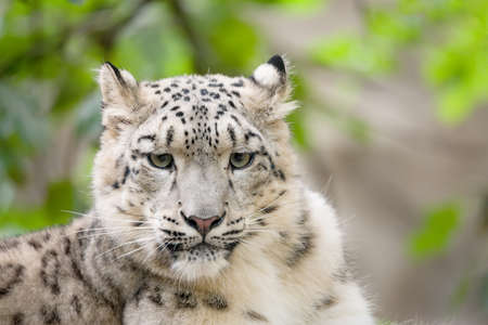 irbis: side portrait of big famous cat, snow leopard - Irbis, Uncia uncia Stock Photo