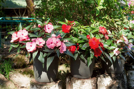 impatiens: Red and pink New Guinea impatiens flowers in pots on birch chunk in summer garden, morning sun with shaddows Stock Photo