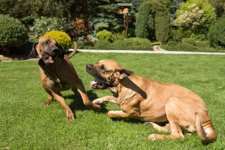antics: two young female of Fila Brasileiro (Brazilian Mastiff) playing outdoor on green grass with opened mouth and big tooth. Fila is large working breed of dog developed in Brazil