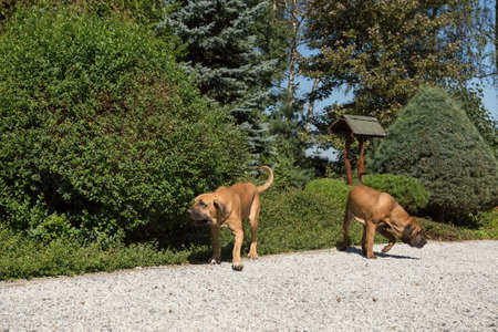 two young female of Fila Brasileiro (Brazilian Mastiff) playing outdoor on green grass on garden. Fila is large working breed of dog developed in Brazil