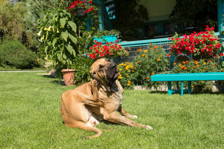 antics: female of Fila Brasileiro (Brazilian Mastiff) playing outdoor on green grass on flowering garden. Fila is large working breed of dog developed in Brazil
