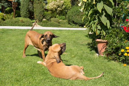 antics: two young female of Fila Brasileiro (Brazilian Mastiff) playing outdoor on green grass on flowering garden. Fila is large working breed of dog developed in Brazil