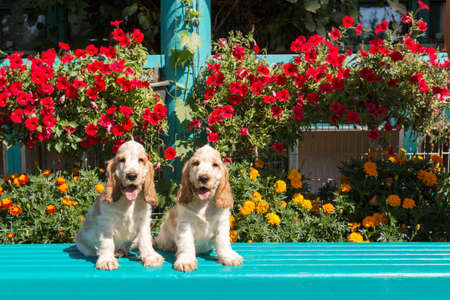 cocker: English Cocker Spaniel family, Two young puppies in garden outdoor on bench, family portrait. Bred called orange cocker spaniel.