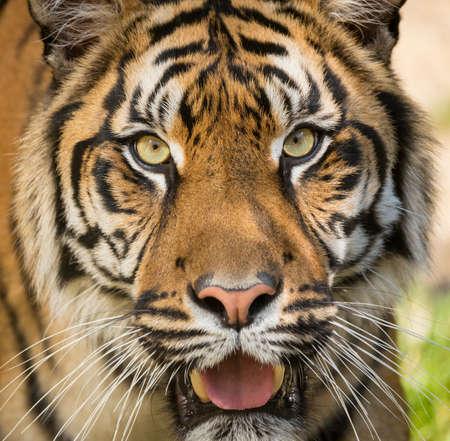 inhabits: Sumatran tiger (Panthera tigris sumatrae) is a rare tiger subspecies that inhabits the Indonesian island of Sumatra Stock Photo