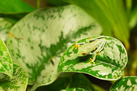 agalychnis: Red-eyed Tree Frog, Agalychnis callidryas, animal with big red eyes masked on green leaves. Beautiful exotic animal from central America.
