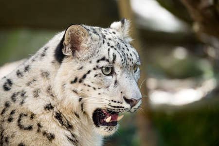 portrait of big cat snow leopard - Irbis, Uncia uncia with opened mouth showing big teeth