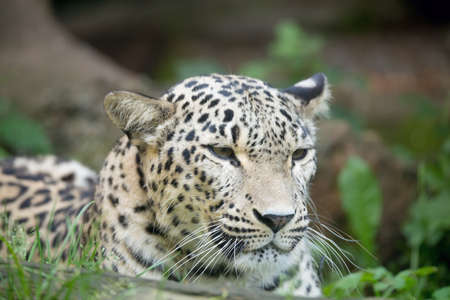 irbis: head portrait  of Persian leopard (Panthera pardus saxicolor), known as the Caucasian leopard