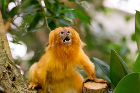 monkies: angry Golden Lion Tamarin (Leontopithecus rosalia) perched on log Stock Photo