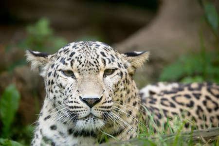 panthera pardus: head portrait  of Persian leopard (Panthera pardus saxicolor), known as the Caucasian leopard