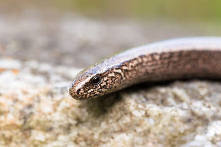 limbless: Slow Worm or Blind Worm, Anguis fragilis. Slow Worm lizards are often mistaken for snakes. His food is generally pest insects. Focus to eye. Czech nature and wildlife
