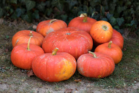 harvests: Autumn Halloween decoration. Pumpkins collection arranged on ground as pleasing fall outdoor still life in autumn garden